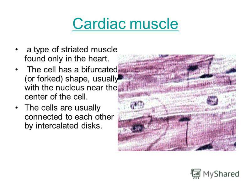 Cardiac muscle a type of striated muscle found only in the heart. The cell has a bifurcated (or forked) shape, usually with the nucleus near the center of the cell. The cells are usually connected to each other by intercalated disks.