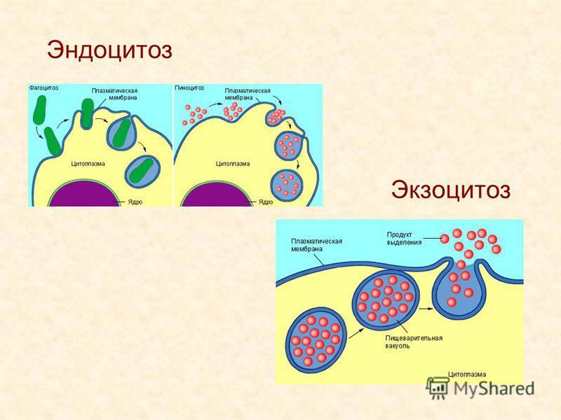 Эндоцитоз Экзоцитоз