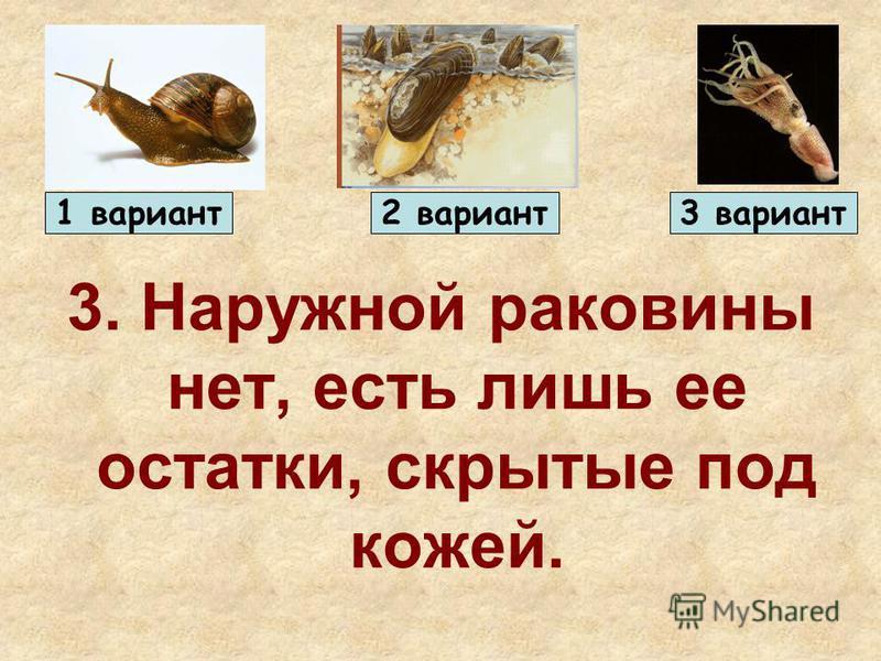 3. Наружной раковины нет, есть лишь ее остатки, скрытые под кожей. 1 вариант 2 вариант 3 вариант
