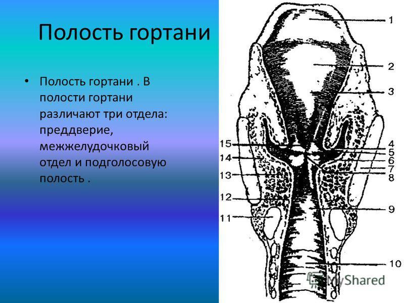 Полость гортани Полость гортани. В полости гортани различают три отдела: преддверие, межжелудочковый отдел и под голосовую полость.