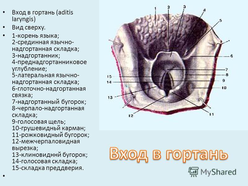 Вход в гортань (aditis laryngis) Вид сверху. 1-корень языка; 2-срединная язычно- надгортанная складка; 3-надгортанник; 4-преднадгортанниковое углубление; 5-латеральная язычно- надгортанная складка; 6-глоточно-надгортанная связка; 7-надгортанный бугор