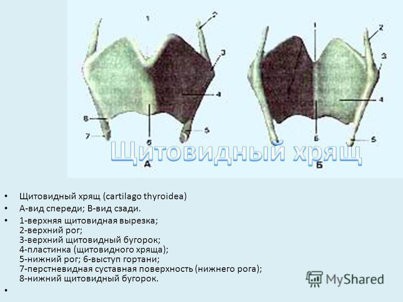 Щитовидный хрящ (cartilago thyroidea) А-вид спереди; В-вид сзади. 1-верхняя щитовидная вырезка; 2-верхний рог; 3-верхний щитовидный бугорок; 4-пластинка (щитовидного хряща); 5-нижний рог; 6-выступ гортани; 7-перстневидная суставная поверхность (нижне