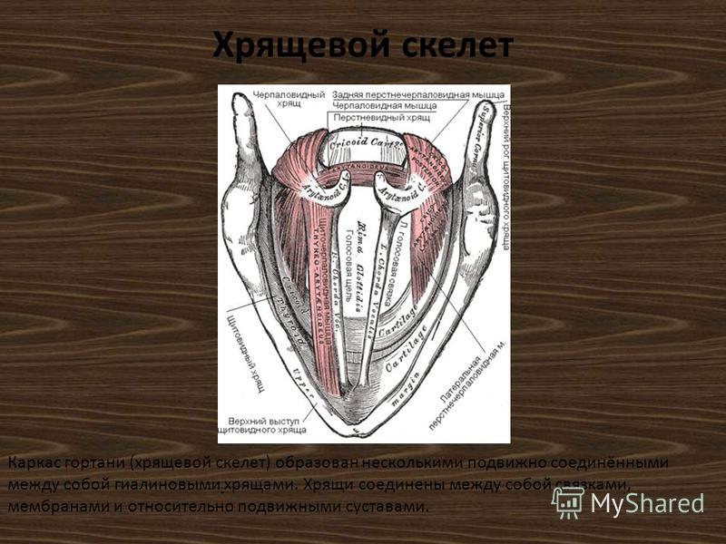Хрящевой скелет Каркас гортани (хрящевой скелет) образован несколькими подвижно соединёнными между собой гиалиновыми хрящами. Хрящи соединены между собой связками, мембранами и относительно подвижными суставами.