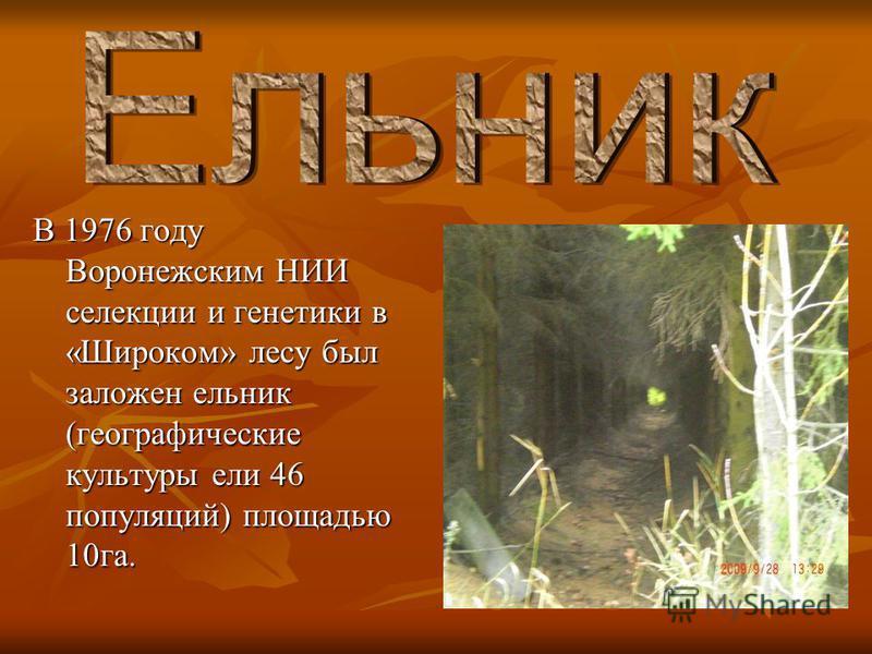В 1976 году Воронежским НИИ селекции и генетики в «Широком» лесу был заложен ельник (географические культуры ели 46 популяций) площадью 10 га.