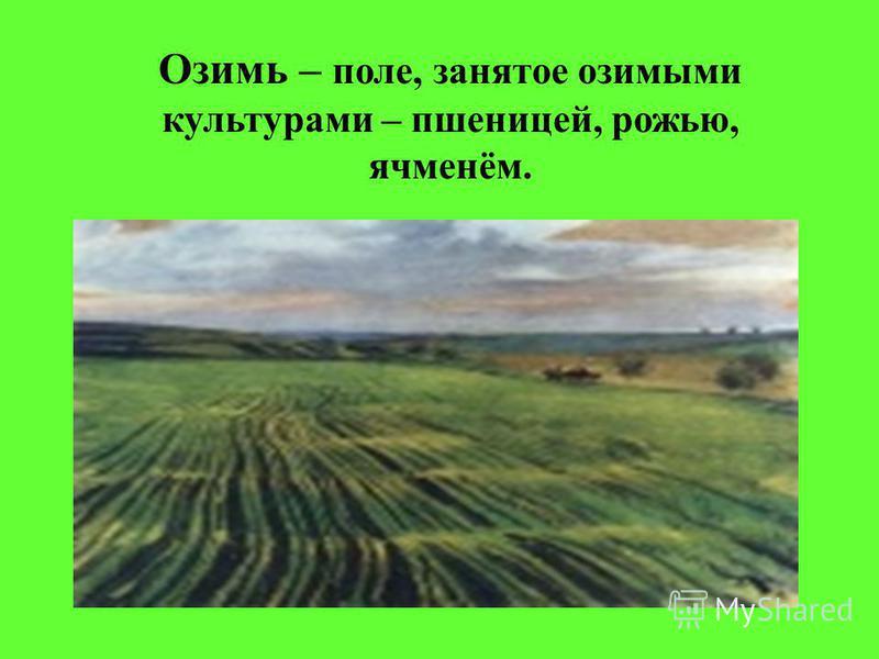Озимь – поле, занятое озимыми культурами – пшеницей, рожью, ячменём.