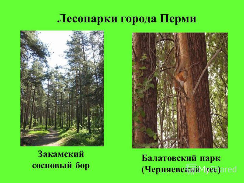 Лесопарки города Перми Балатовский парк (Черняевский лес) Закамский сосновый бор