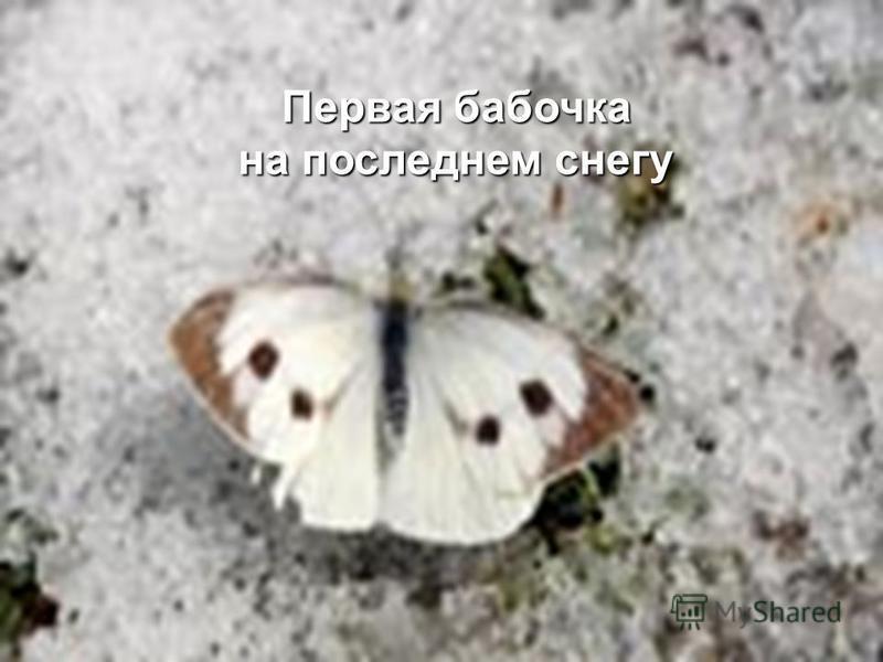 Первая бабочка на последнем снегу