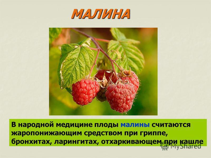 В народной медицине плоды малины считаются жаропонижающим средством при гриппе, бронхитах, ларингитах, отхаркивающем при кашле МАЛИНА