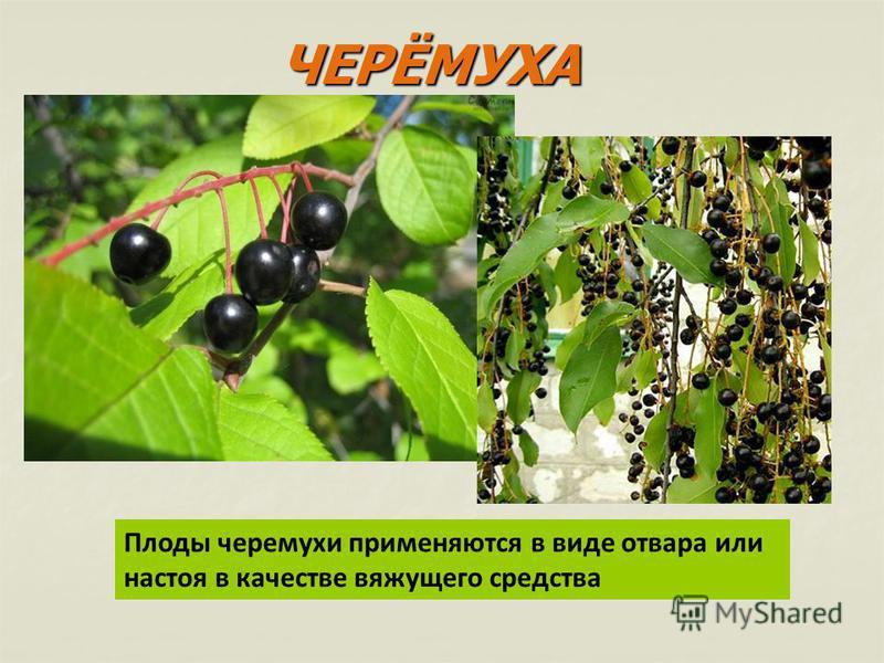 Плоды черемухи применяются в виде отвара или настоя в качестве вяжущего средства ЧЕРЁМУХА