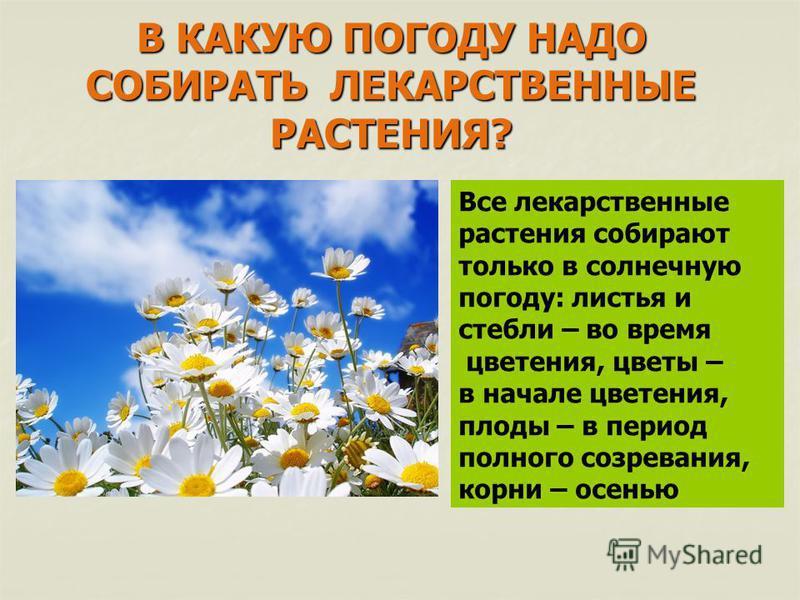 В КАКУЮ ПОГОДУ НАДО СОБИРАТЬ ЛЕКАРСТВЕННЫЕ РАСТЕНИЯ? Все лекарственные растения собирают только в солнечную погоду: листья и стебли – во время цветения, цветы – в начале цветения, плоды – в период полного созревания, корни – осенью