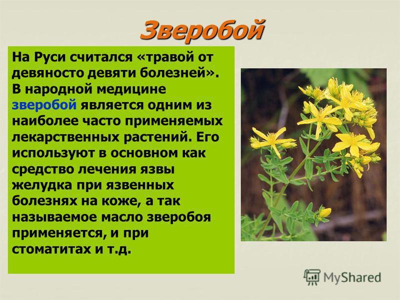 На Руси считался «травой от девяносто девяти болезней». В народной медицине зверобой является одним из наиболее часто применяемых лекарственных растений. Его используют в основном как средство лечения язвы желудка при язвенных болезнях на коже, а так