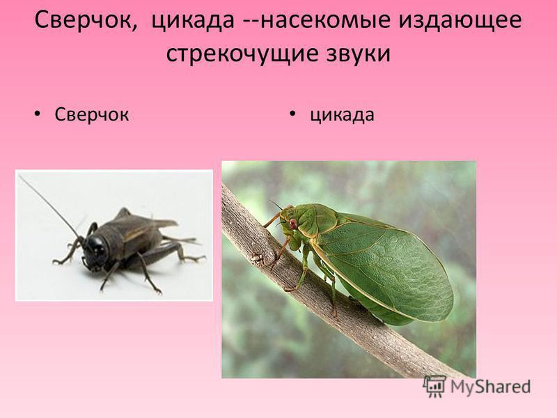 Сверчок, цикада --насекомые издающее стрекочущие звуки Сверчок цикада