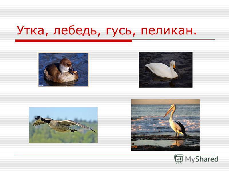 Утка, лебедь, гусь, пеликан.
