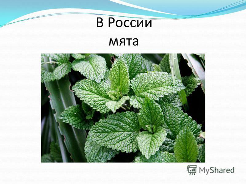 В России мята