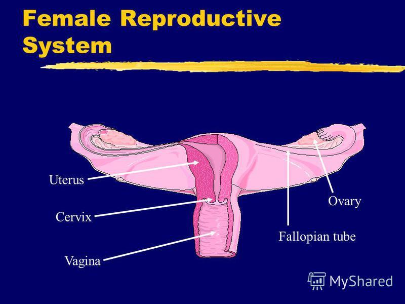 Female Reproductive System Uterus Vagina Fallopian tube Ovary Cervix