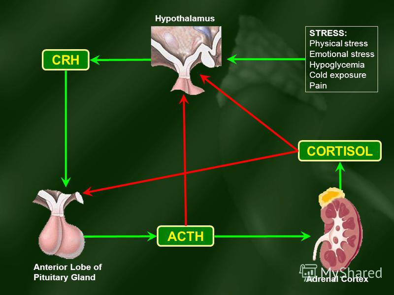 CORTISOL ACTH CRH STRESS: Physical stress Emotional stress Hypoglycemia Cold exposure Pain Adrenal Cortex Anterior Lobe of Pituitary Gland Hypothalamus
