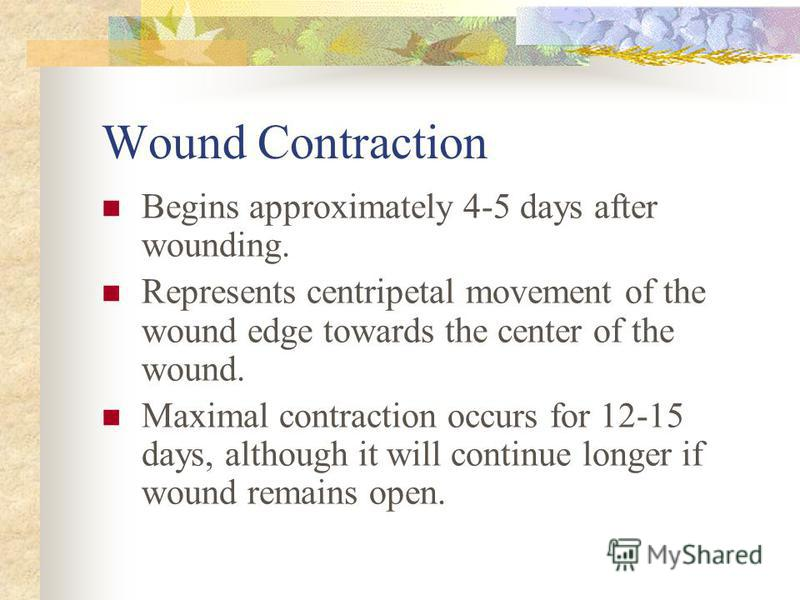 Wound Contraction Begins approximately 4-5 days after wounding. Represents centripetal movement of the wound edge towards the center of the wound. Maximal contraction occurs for 12-15 days, although it will continue longer if wound remains open.