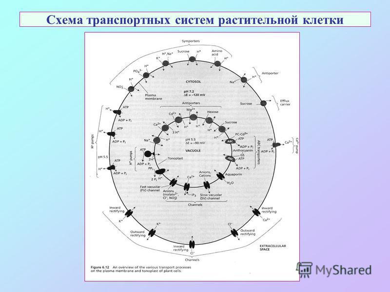 Схема транспортных систем растительной клетки