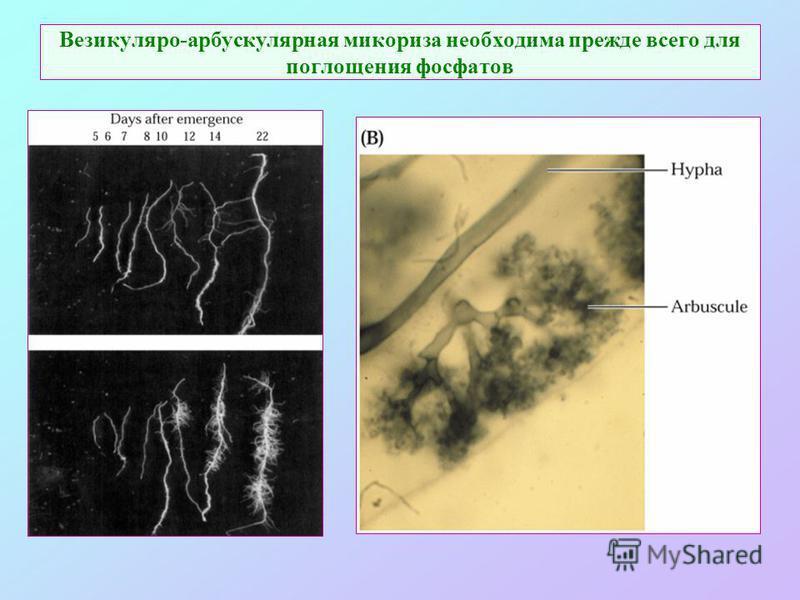 Везикуляро-арбускулярная микориза необходима прежде всего для поглощения фосфатов