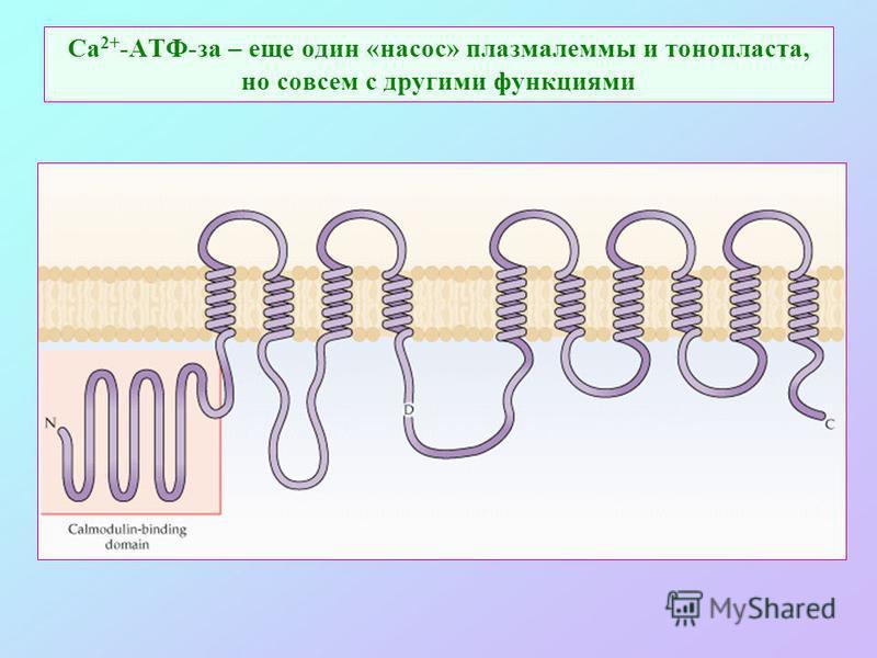 Са 2+ -АТФ-за – еще один «насос» плазмалеммы и тонопласта, но совсем с другими функциями