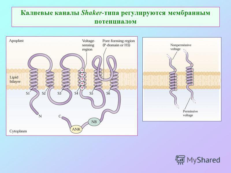 Калиевые каналы Shaker-типа регулируются мембранным потенциалом