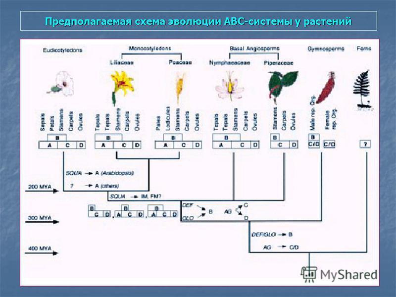 Предполагаемая схема эволюции АВС-системы у растений