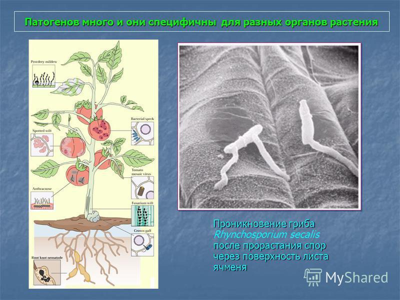 Патогенов много и они специфичны для разных органов растения Проникновение гриба после прорастания спор через поверхность листа ячменя Проникновение гриба Rhynchosporium secalis после прорастания спор через поверхность листа ячменя