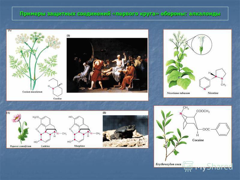 Примеры защитных соединений «первого круга» обороны: алкалоиды