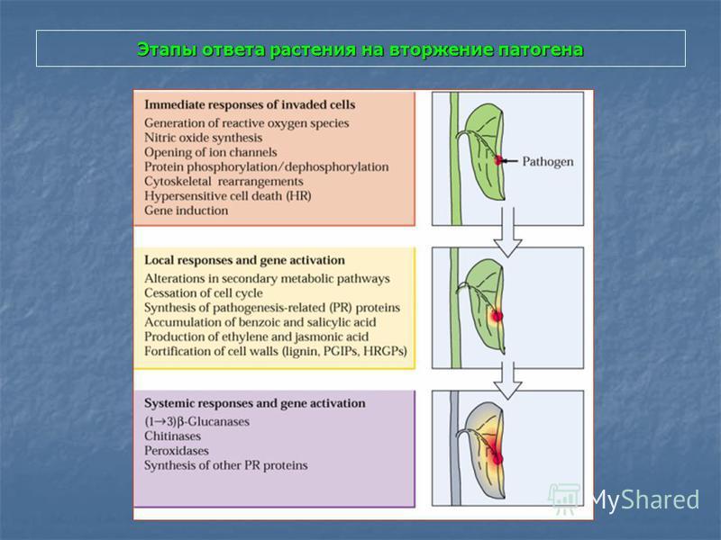 Этапы ответа растения на вторжение патогена