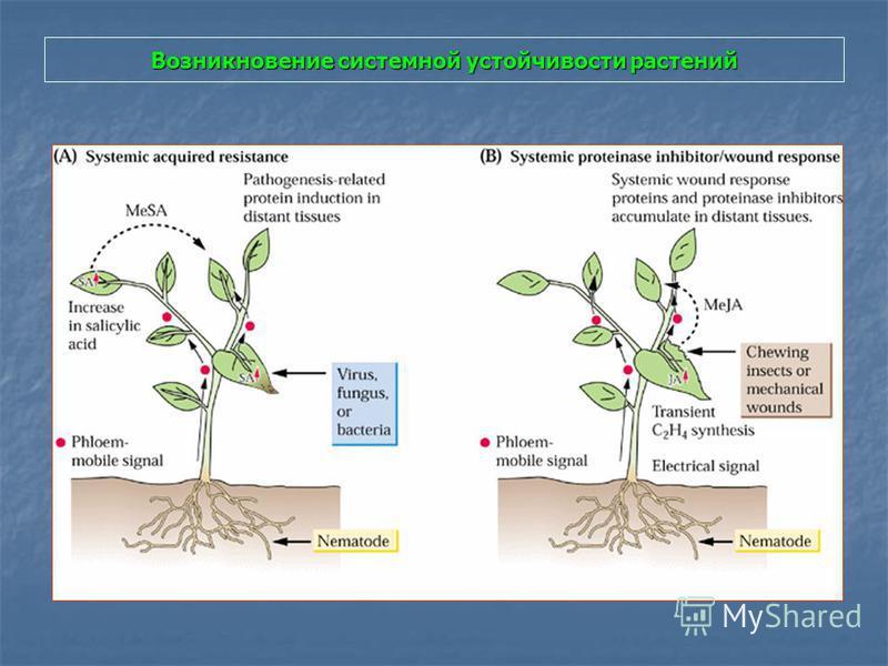 Возникновение системной устойчивости растений