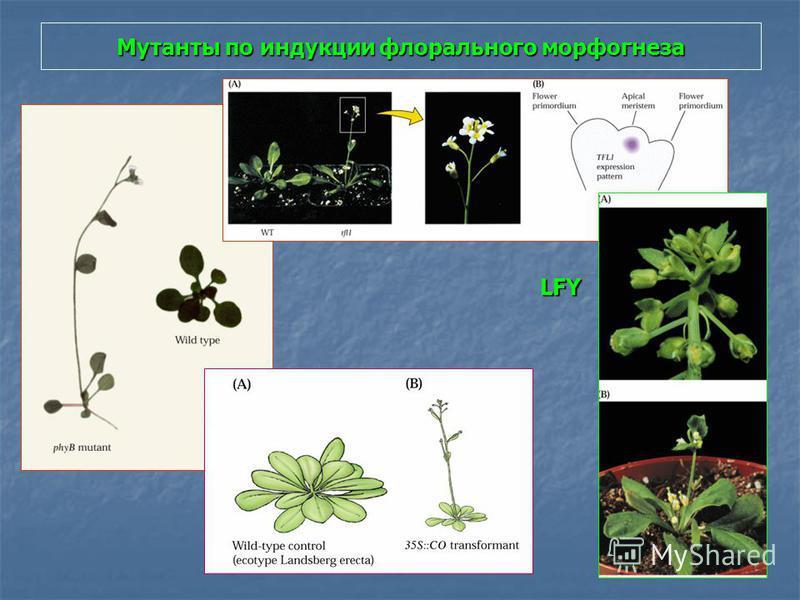 Мутанты по индукции флорального морфогенеза LFY