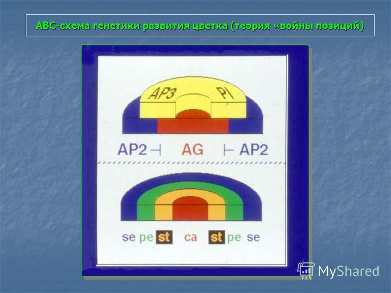 АВС-схема генетики развития цветка (теория «войны позиций)