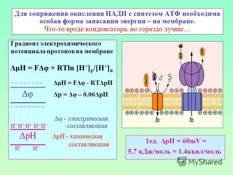 Для сопряжения окисления НАДН с синтезом АТФ необходима особая форма запасания энергии – на мембране. Что-то вроде конденсатора, но гораздо лучше… Градиент электрохимического потенциала протонов на мембране ΔμН = FΔφ + RTln [H + ] p /[H + ] n + + + +