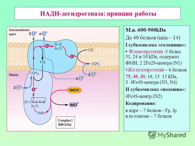НАДН-дегидрогеназа: принцип работы М.в. 600-900kDa До 40 белков (min – 14) I субкомплекс «голенище»: Флавопротеин -3 белка 51, 24 и 10 kDa, содержат ФМН, 2 2Fe2S-центра (N1) Железопротеин – 6 белков 75, 49, 30, 18, 15 13 kDa, 3 4Fe4S-центра (N3, N4)