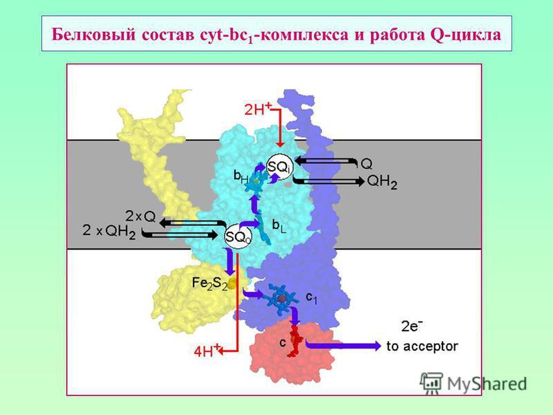 Белковый состав cyt-bc 1 -комплекса и работа Q-цикла