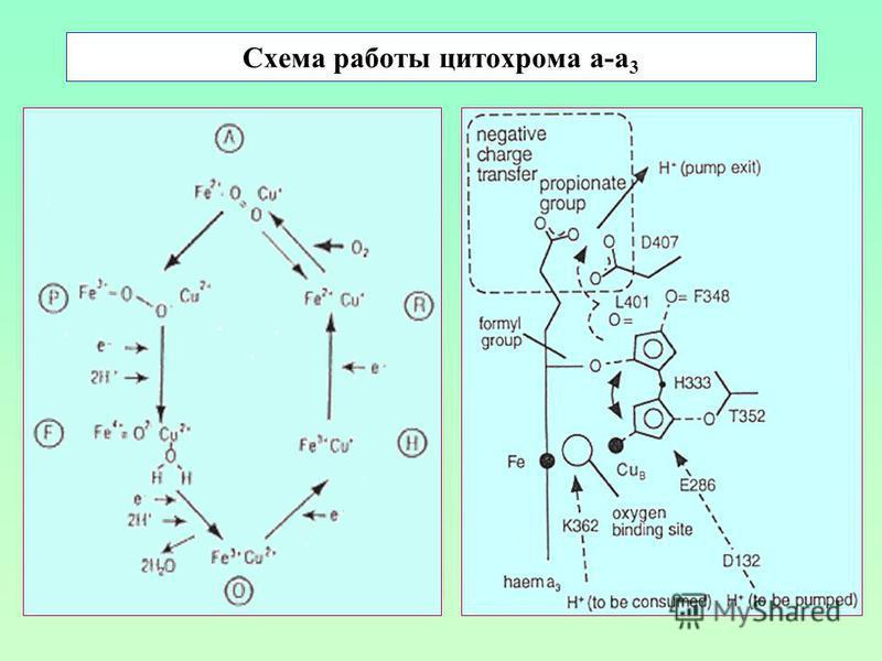 Схема работы цитохрома а-а 3