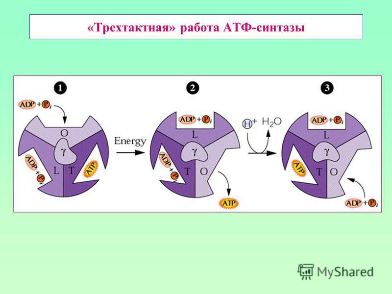 «Трехтактная» работа АТФ-синтетазы