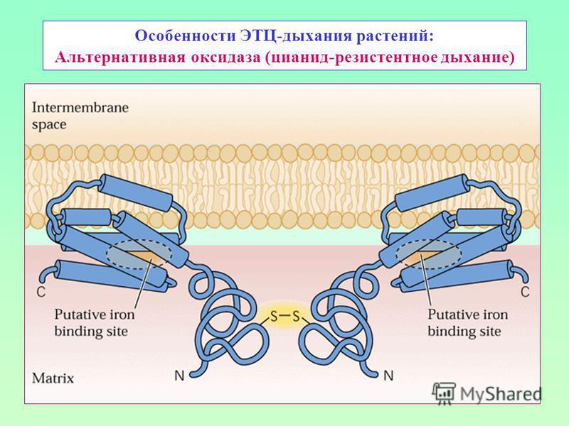 Особенности ЭТЦ-дыхания растений: Альтернативная оксидаза (цианид-резистентное дыхание)