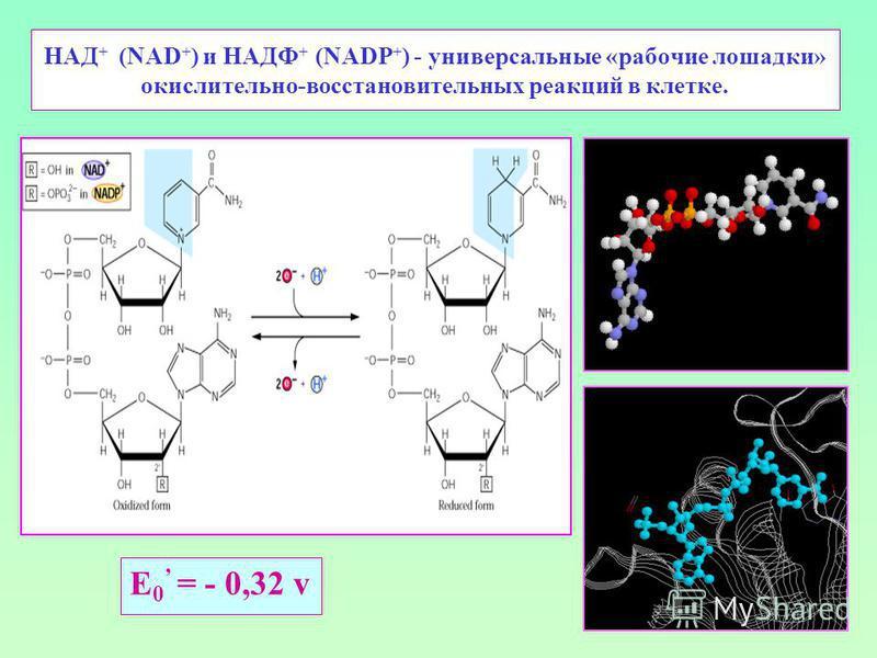 НАД + (NAD + ) и НАДФ + (NADP + ) - универсальные «рабочие лошадки» окислительно-восстановительных реакций в клетке. E 0 = - 0,32 v