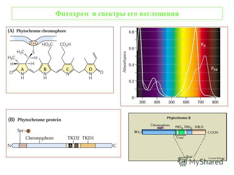 Фитохром и спектры его поглощения