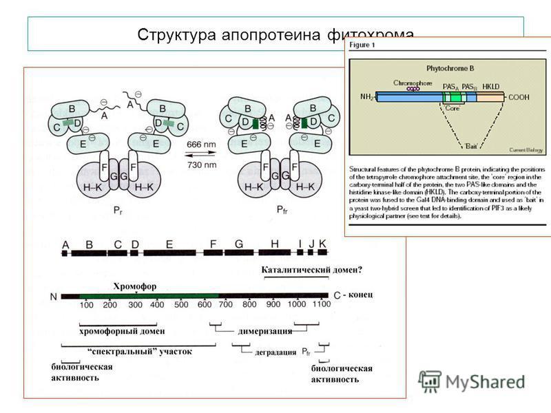 Структура апопротеина фитохрома