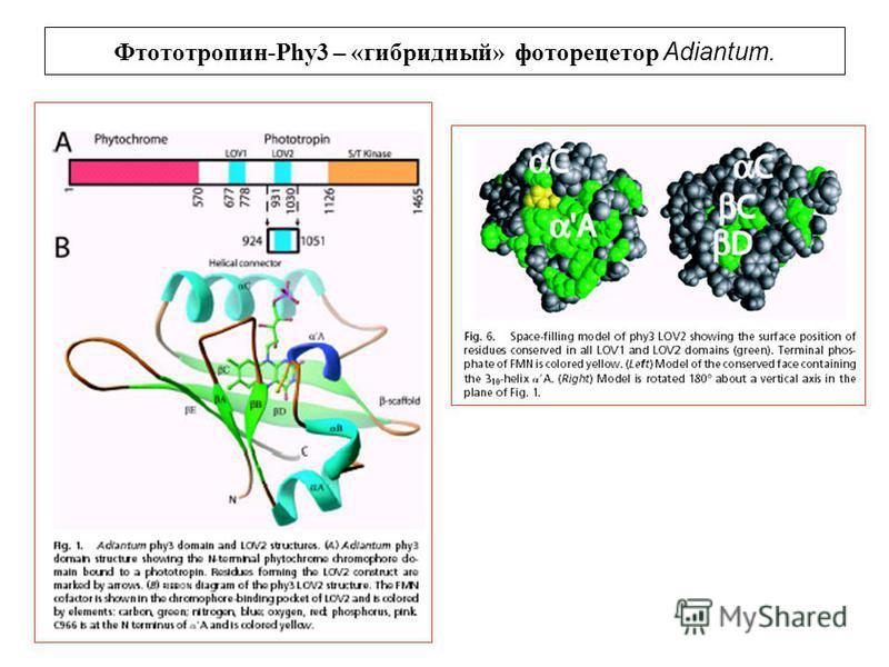 Фтототропин-Phy3 – «гибридный» фоторецептор Adiantum.