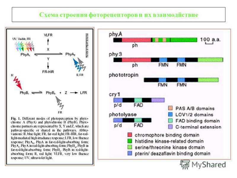 Схема строения фоторецепторов и их взаимодействие
