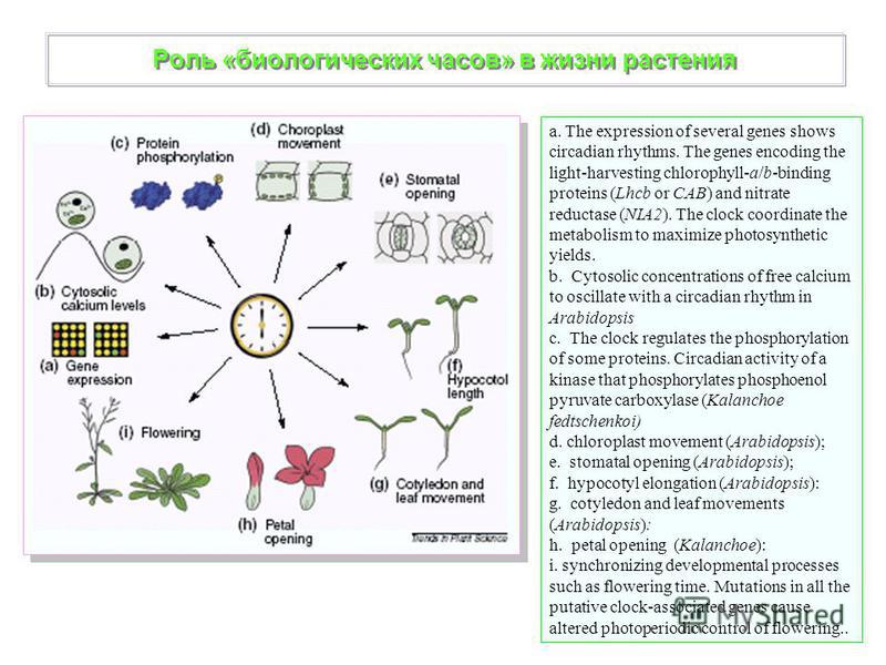 Роль «биологических часов» в жизни растения a. The expression of several genes shows circadian rhythms. The genes encoding the light-harvesting chlorophyll-a/b-binding proteins (Lhcb or CAB) and nitrate reductase (NIA2). The clock coordinate the meta