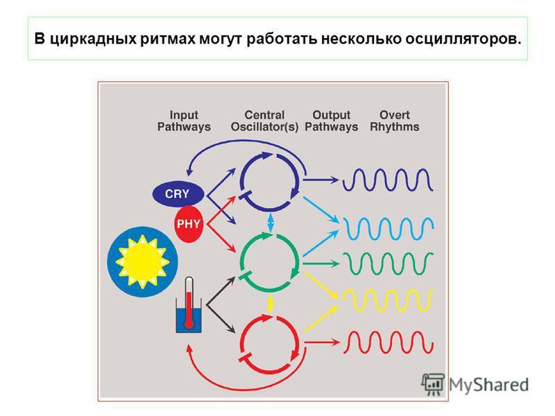 В циркадных ритмах могут работать несколько осцилляторов.