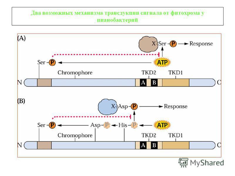 Два возможных механизма трансдукции сигнала от фитохрома у цианобактерий