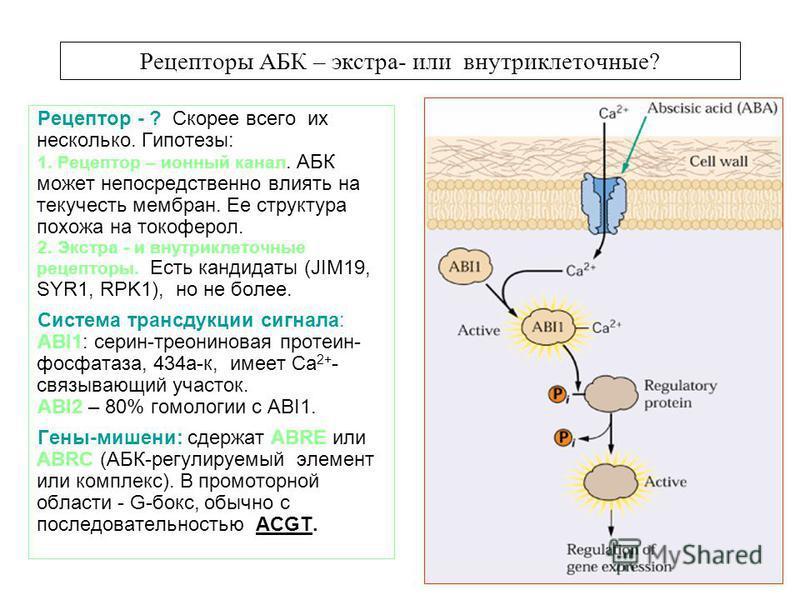 Рецепторы АБК – экстра- или внутриклеточные? Рецептор - ? Скорее всего их несколько. Гипотезы: 1. Рецептор – ионный канал. АБК может непосредственно влиять на текучесть мембран. Ее структура похожа на токоферол. 2. Экстра - и внутриклеточные рецептор