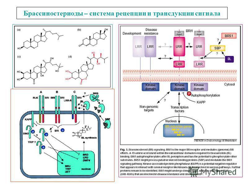 Брассиностериоды – система рецепции и трансдукции сигнала
