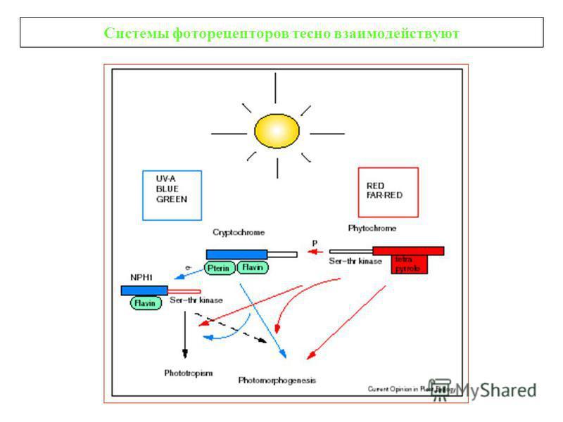 Системы фоторецепторов тесно взаимодействуют