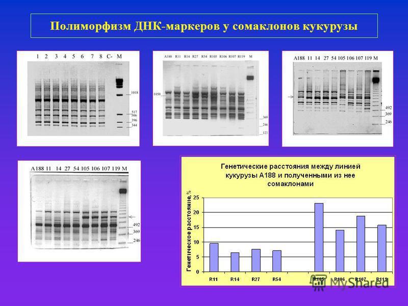 Полиморфизм ДНК-маркеров у сома клонов кукурузы
